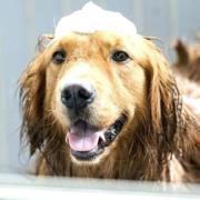 Cane durante lo shampoo